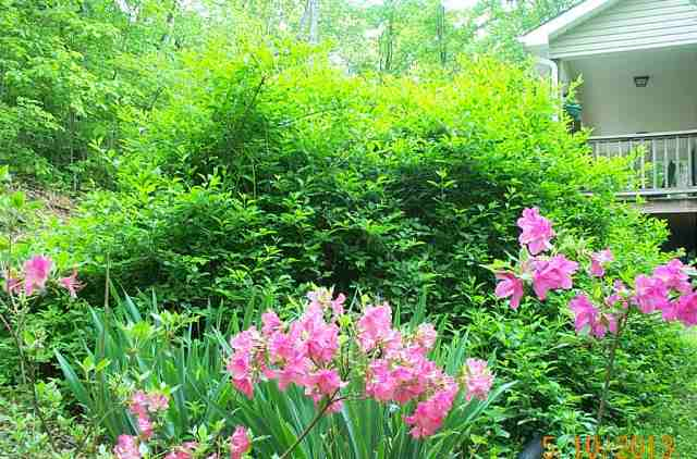 The azalea and forsythia bushes next to the road above the apple trees
