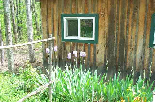Flower box in front of the studio. These are the iris, there is also two peonies in here.