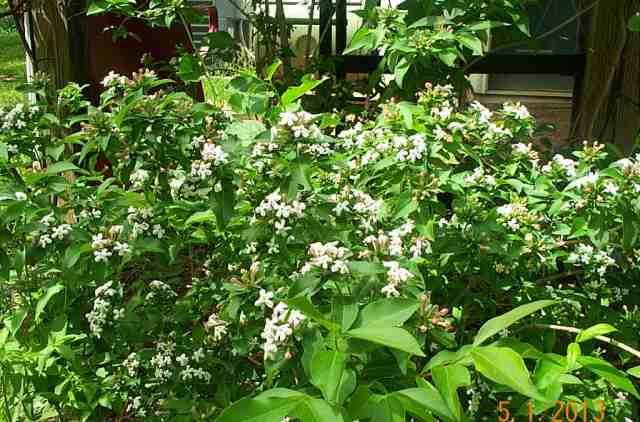 This is my May Flower bush. It is so pretty in the spring and smells so good!!