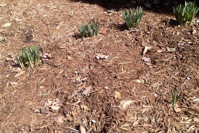 doffodils