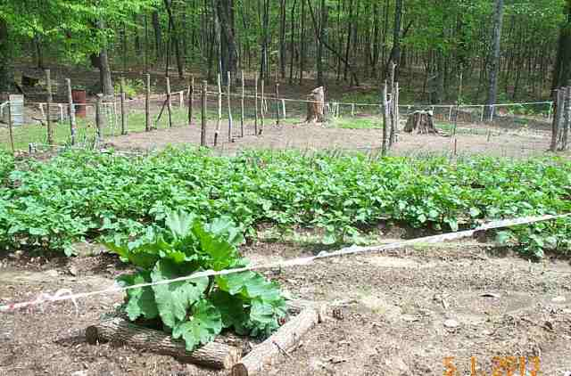 Potatoes, onions and posts for the tomatoes. We planted 100 tomato plants here so it is a lot bigger than it looks.