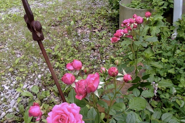 111 Shanti's rose