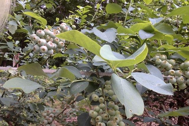AA blueberries