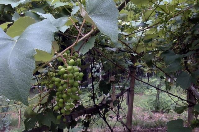 AA grapes