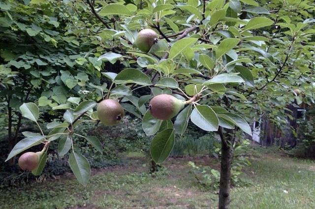 AA Pears