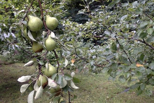 7-29-14 at 8.30 pears