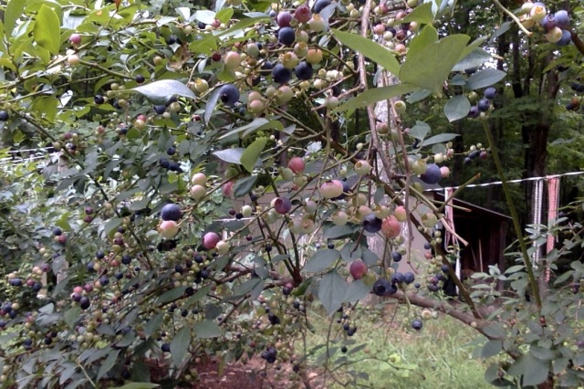 blueberrie bush 3