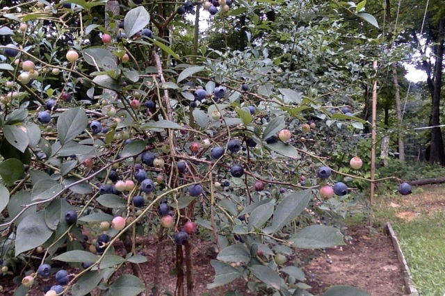 blueberries bush 4