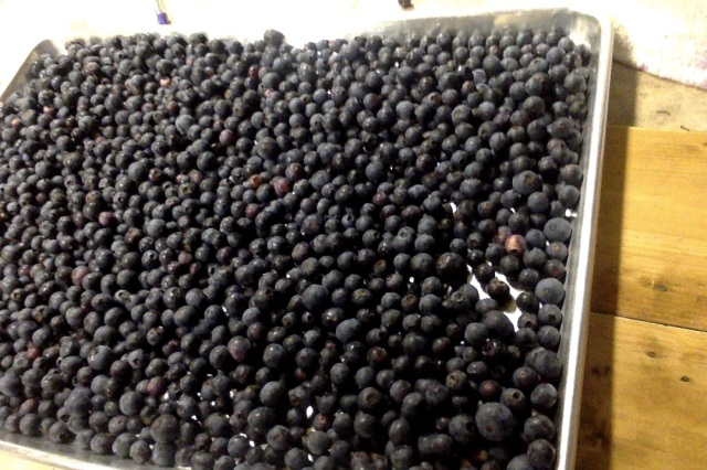 blueberries ready for the freezer