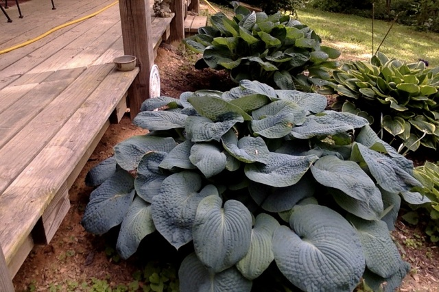 Big blue hosta