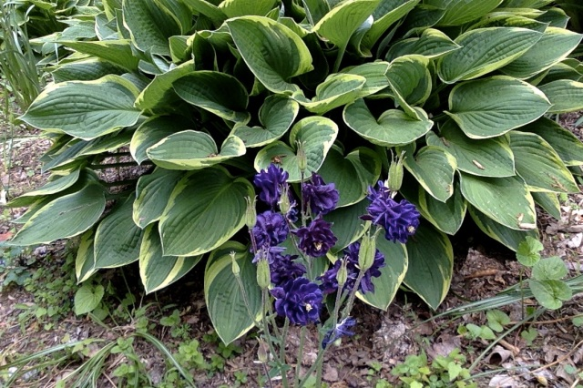 Collumbine and hosta