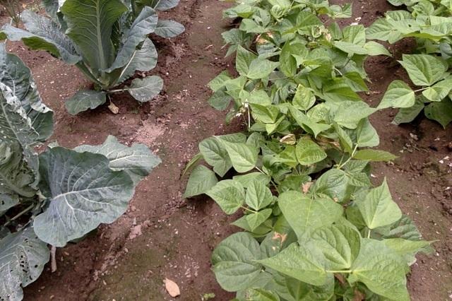green beans and cauliflower