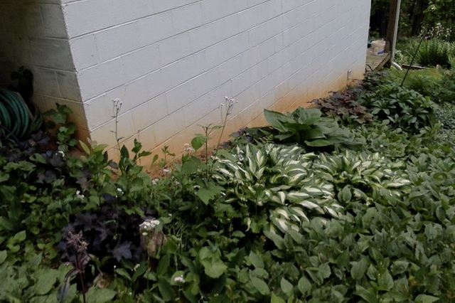 side garden hosta and black eyed susans